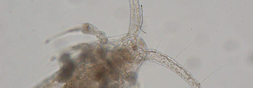Hyvärasvainen Limnocalanus-hankajalkainen