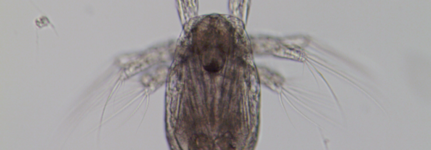 Recognizing an Acartia copepod