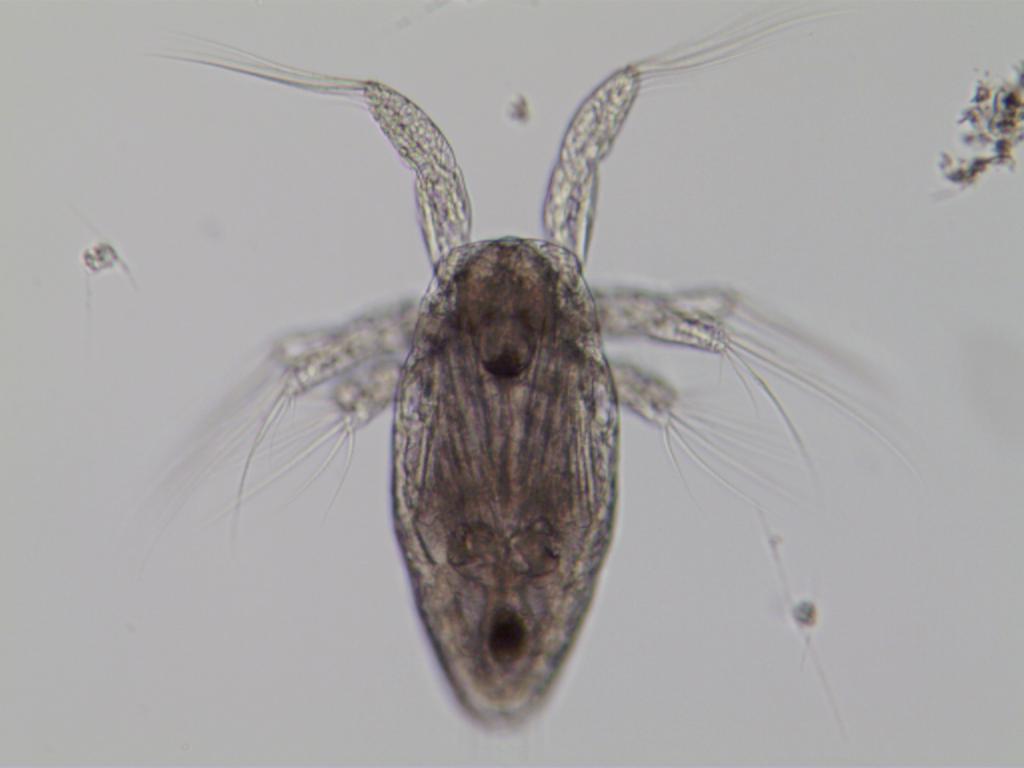 Acartia copepod
